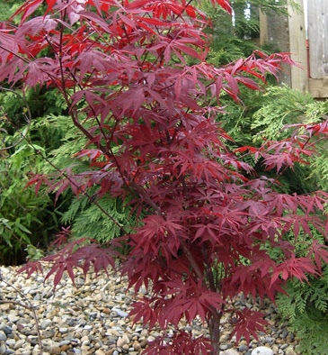 pin acer palmatum seedling spindle tree euonymous rosa. Black Bedroom Furniture Sets. Home Design Ideas