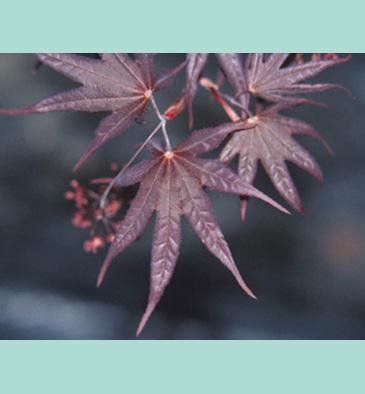 Acer Palmatum Bloodgood Millcreek Gardens