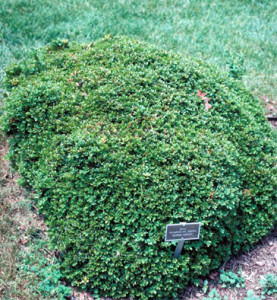 buxus-microphylla