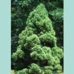 cryptomeria-japanese-cedar