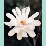 magnolia-royal-star