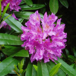 rhododendron-indicum