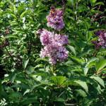 syringa-lilac