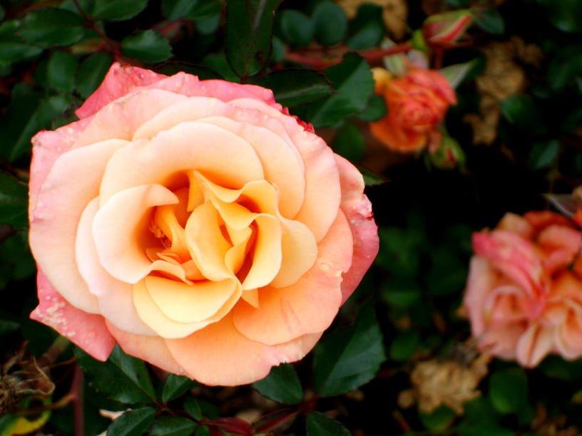 Autumn Rose Care Millcreek Gardens