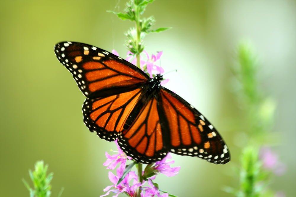 Butterfly Friendly Gardening
