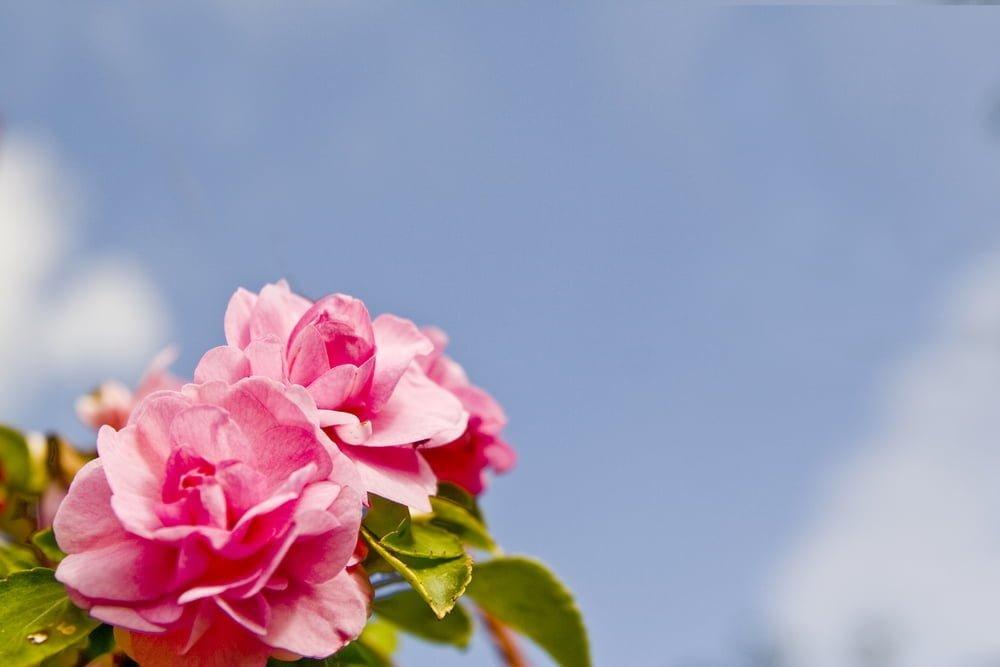 Julie Andrews Rose Tips