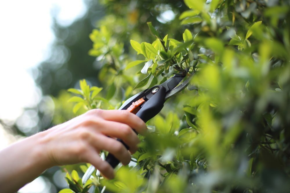 Pruning Shrubs