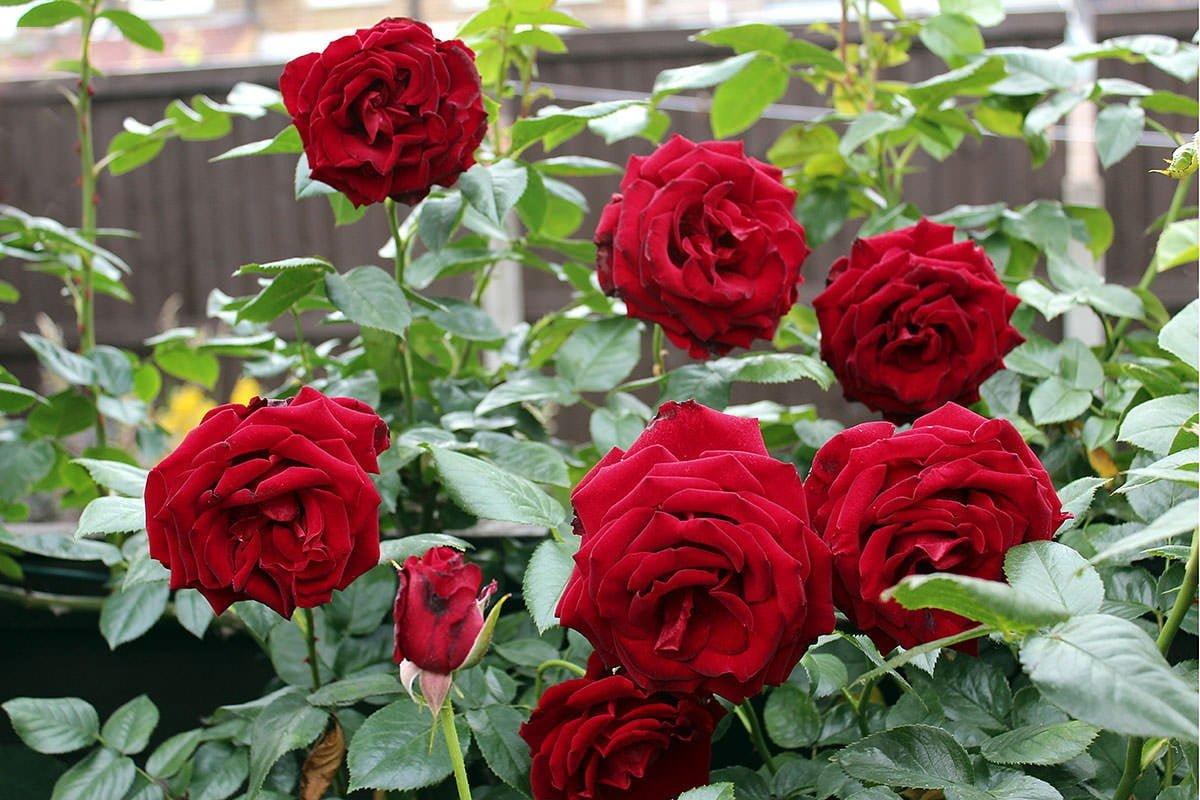 growing roses Utah