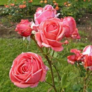 grandiflora-rose