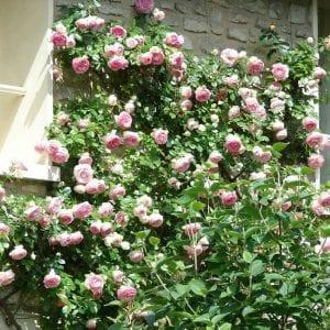 climbing-rose-square