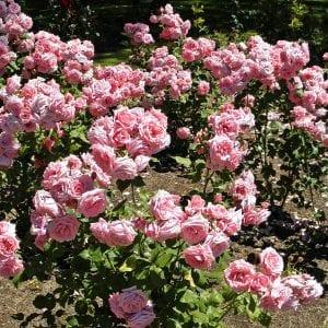 floribunda-rose