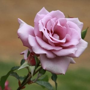 hybrid-tea-rose-square