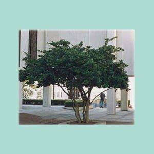 ligustrum-japonicum-300x300