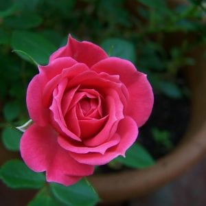 miniature-rose-square