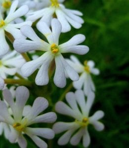 6 night blooming plants for a moonlight garden millcreek gardens several varieties of night phlox or zaluzianskya feature bursts of stalks with small flowers that open at dusk these night bloomers are available in mightylinksfo