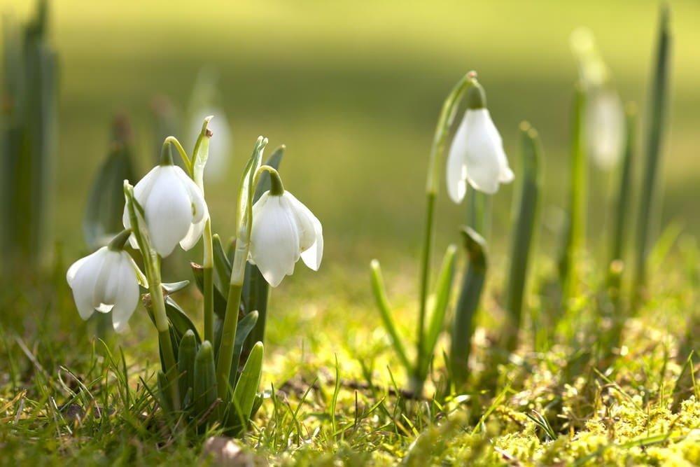 white perennial flowers to brighten your garden  millcreek gardens, Natural flower