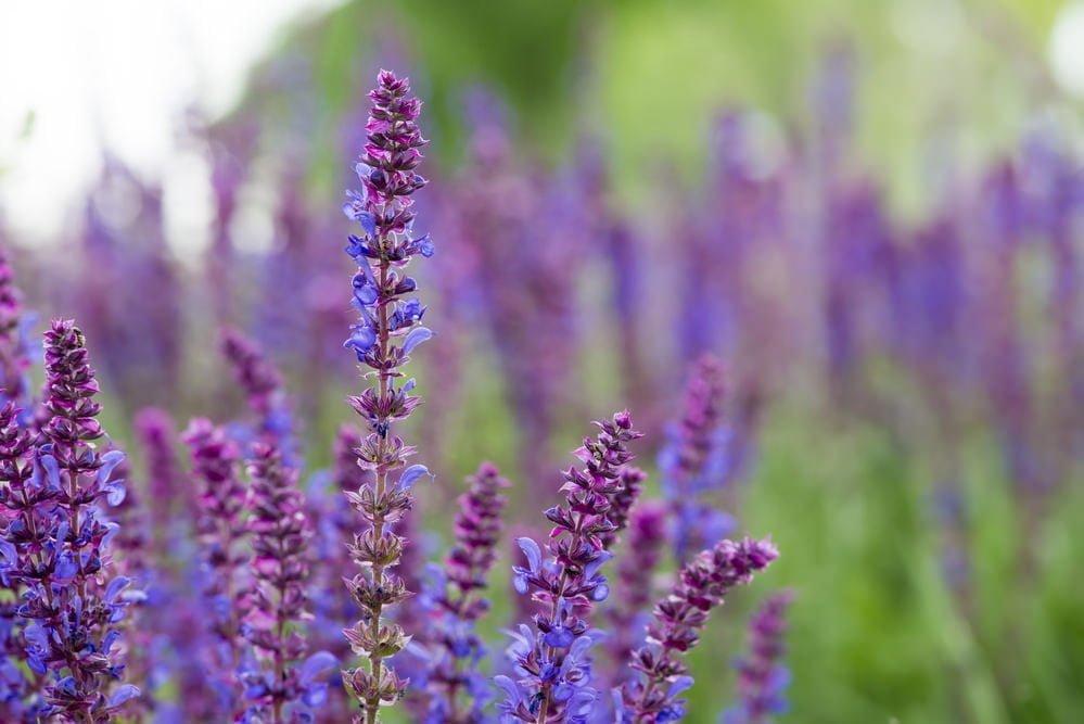 6 perennial flowers for perennial gardening month millcreek gardens perennial flowers mightylinksfo
