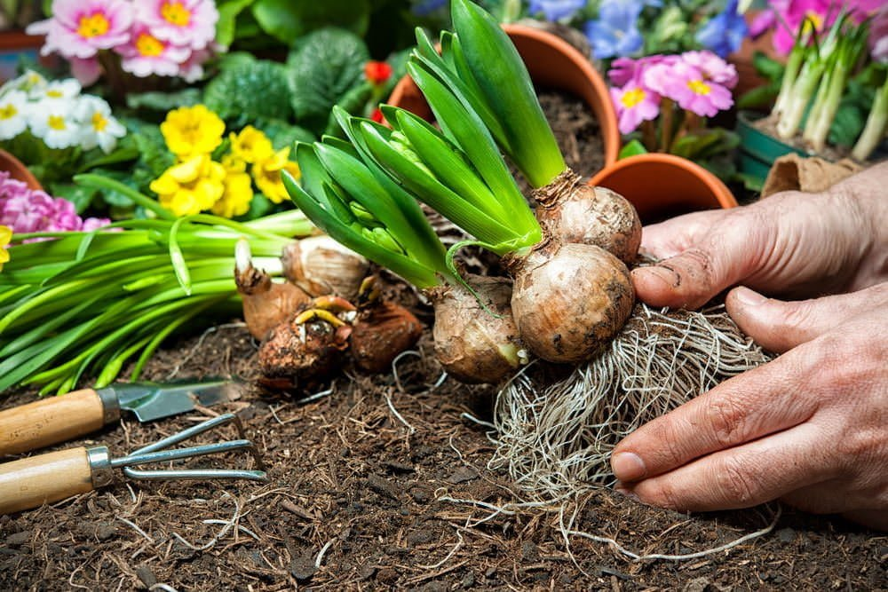 Planting fall flower bulbs