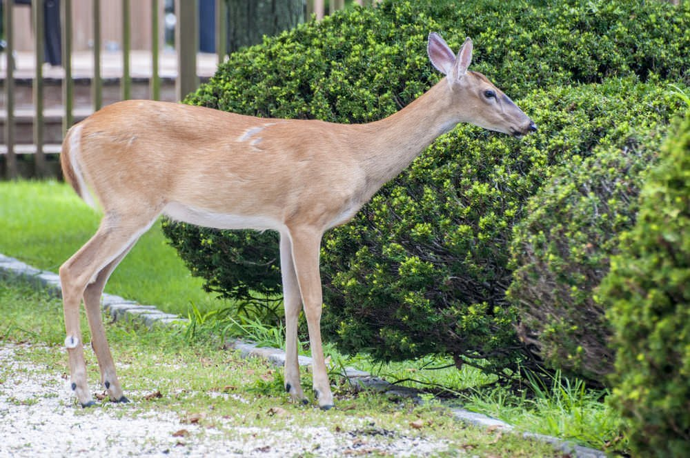 Stop Deerfrom Eating Your Outdoor Plants