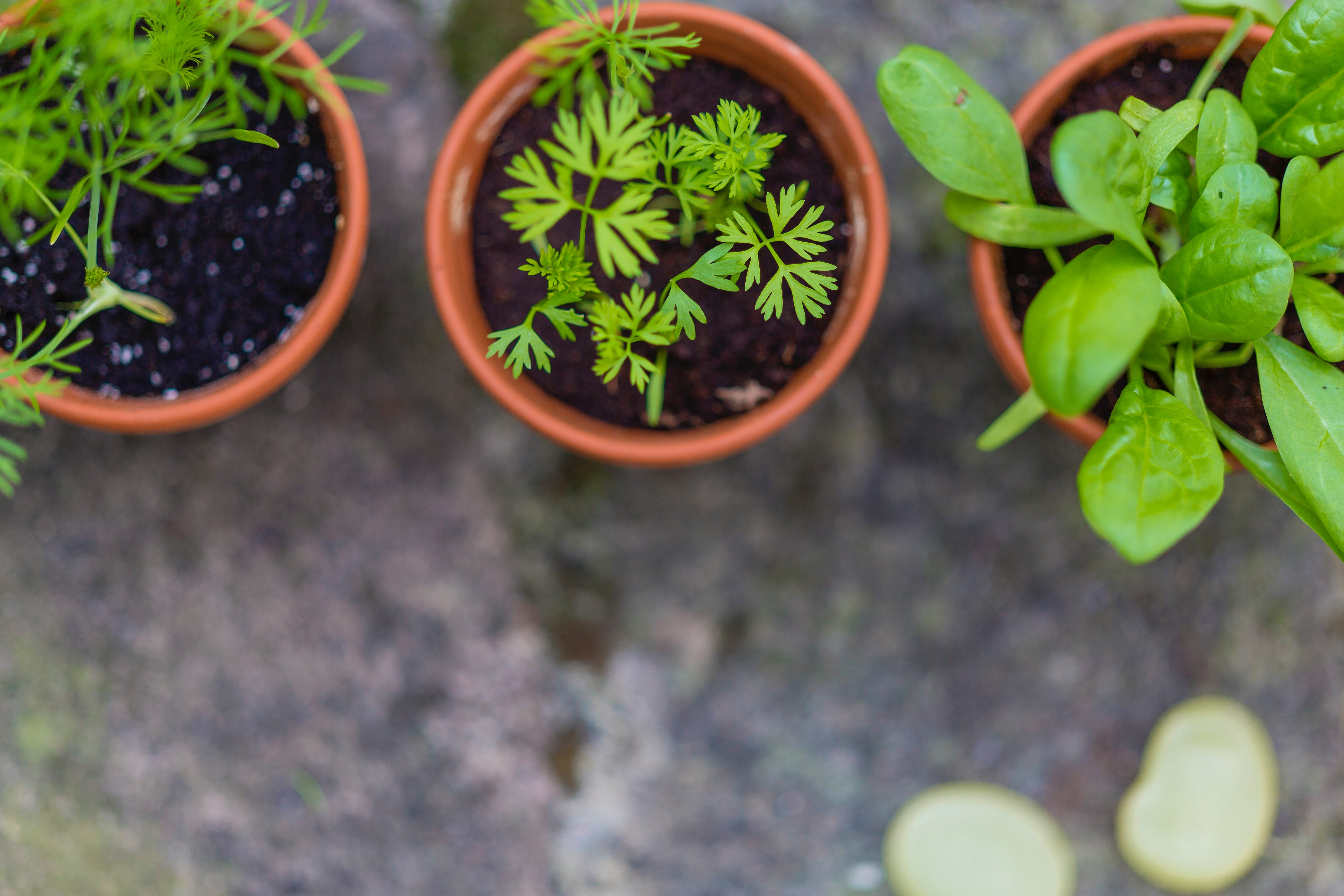 Dry and Store Garden Herbs