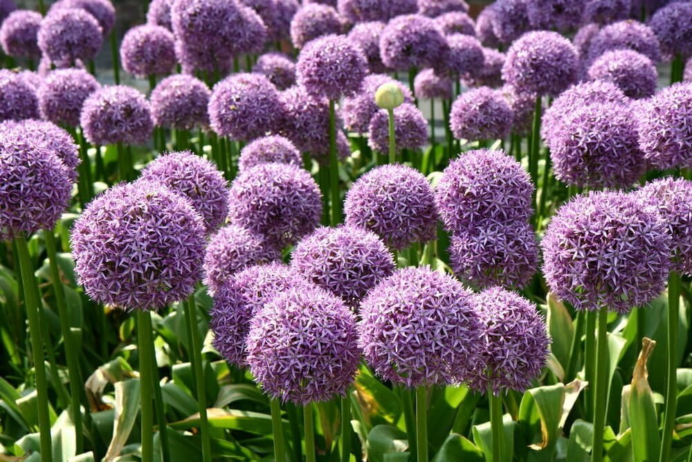 Gardening Tips:Add Pantone's Color of the Year to Your Landscape