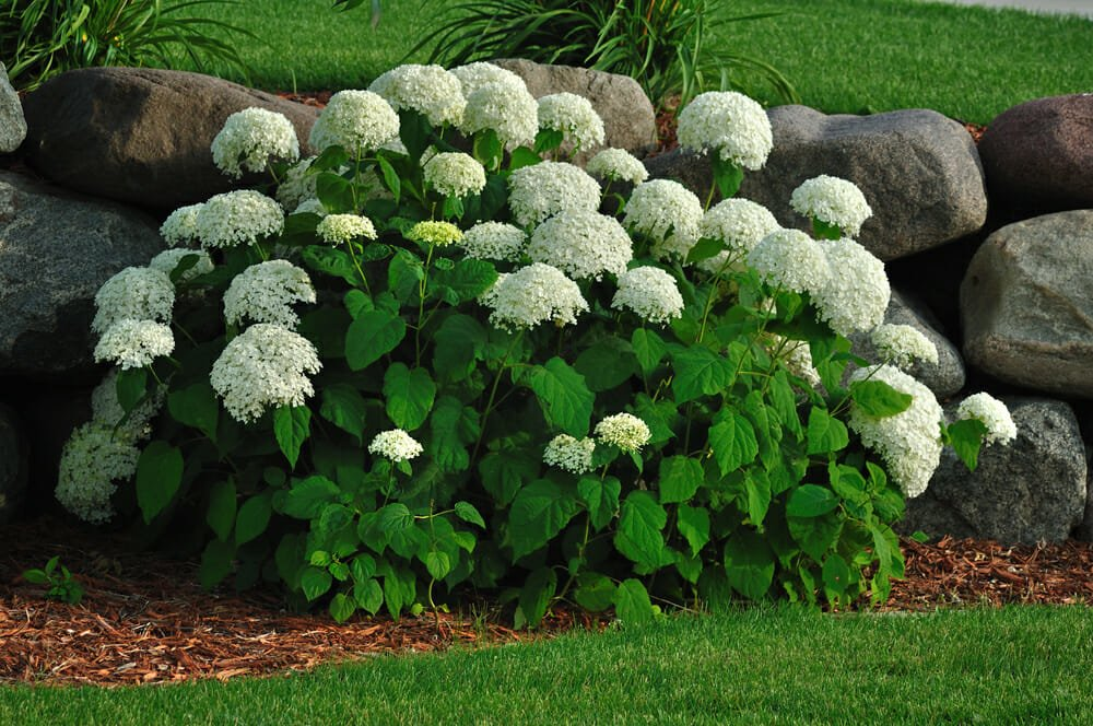 Hydrangea Shrubs: Tips for Planting & Care