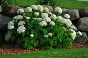 Hydrangea Shrubs: Tips forPlanting& Care