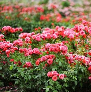 Transplanting Rose Bushes: AStep-by-Step Guide