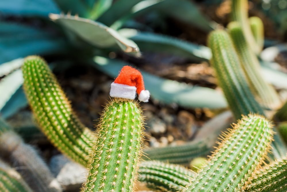 care for christmas cactus