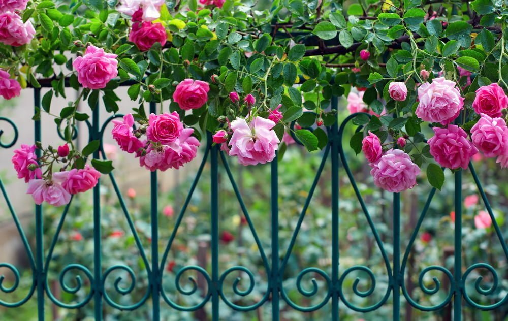 How to train a climbing rose bush