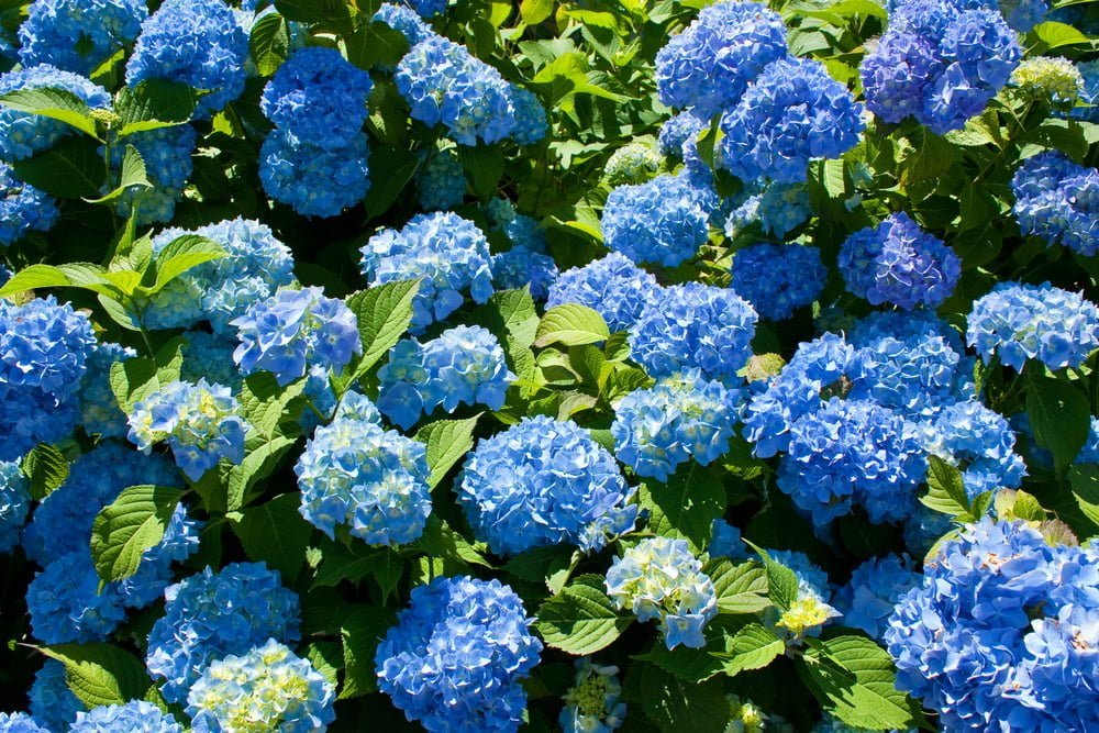 Growing hydrangeas in Utah