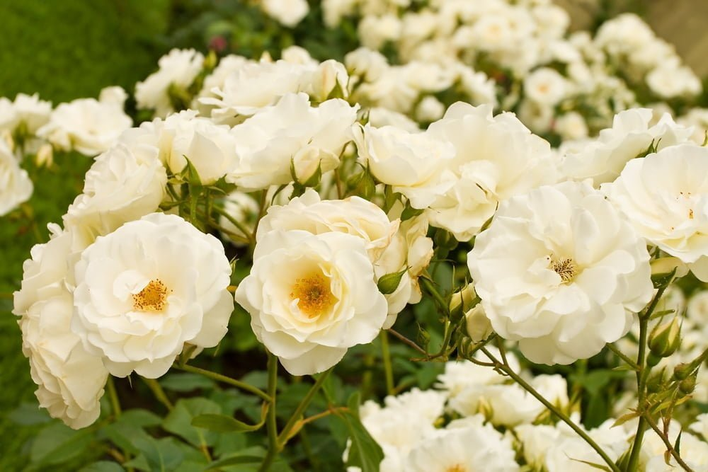 How To Care For Rose Bushes In The Fall Millcreek Gardens