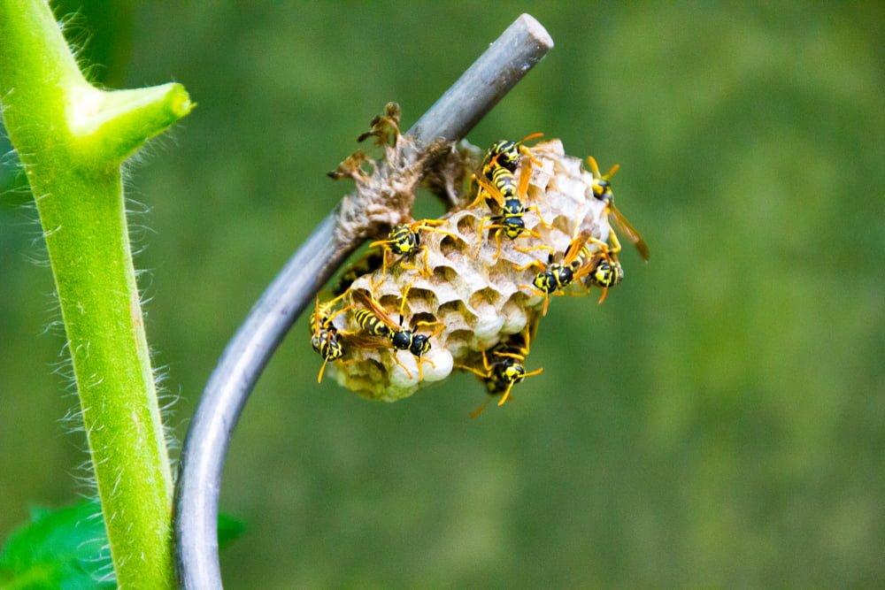 spring garden wasp prevention