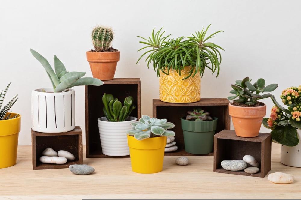 indoor plants poinsettias